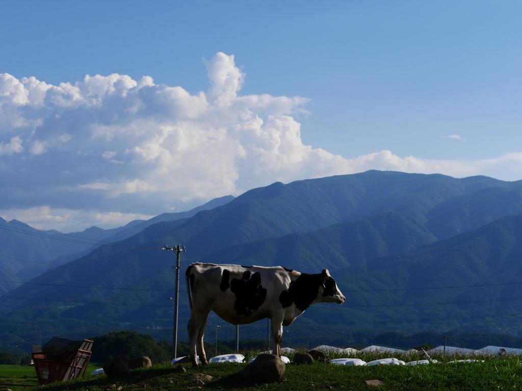 入笠山と乳牛