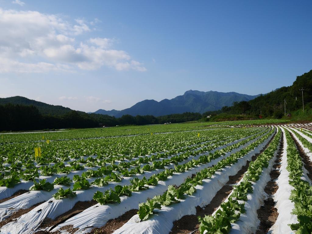 信州峠の高原野菜畑2
