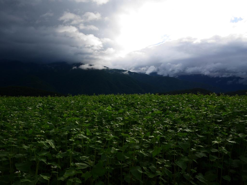 台風前の蕎麦畑にて2