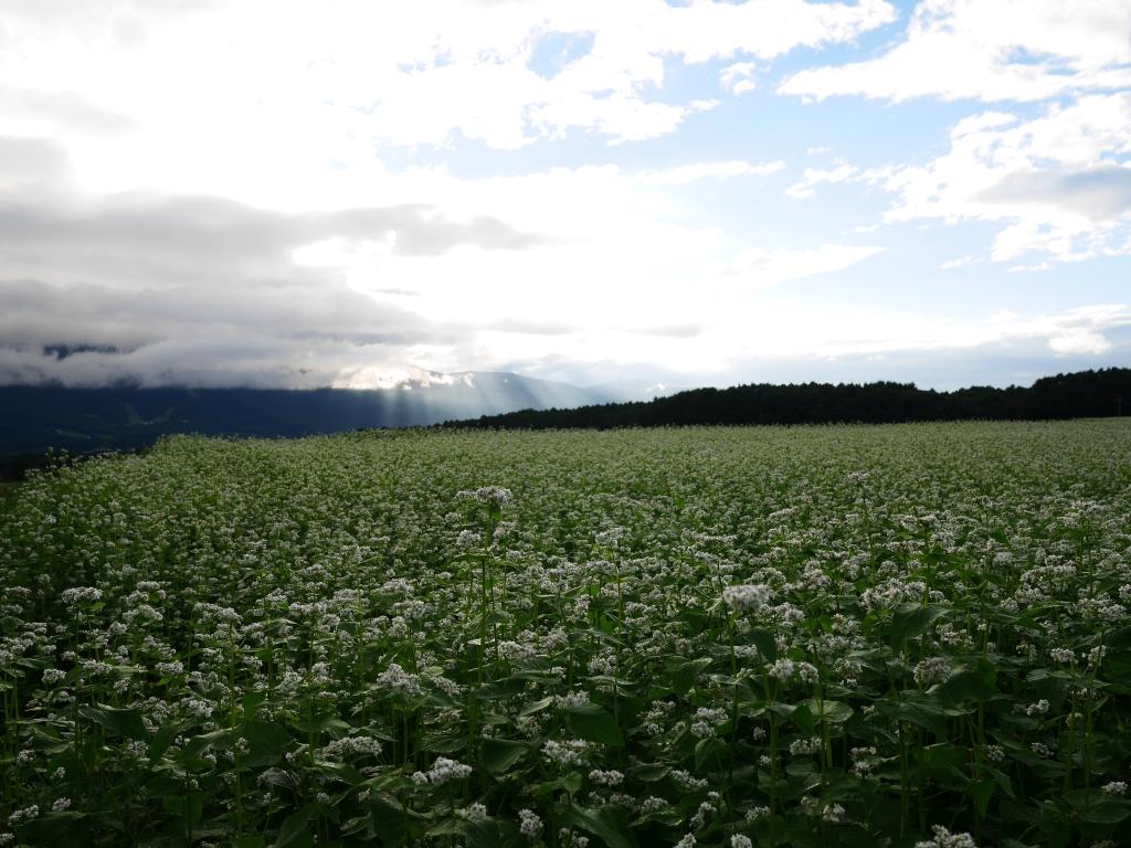 台風前の蕎麦畑にて3
