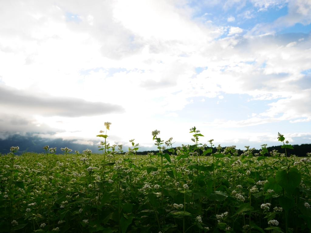台風前の蕎麦畑にて5