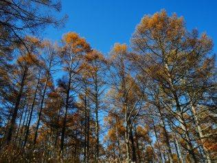 千代田湖畔の落葉松黄葉14