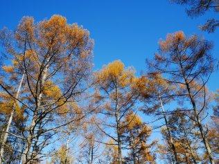 千代田湖畔の落葉松黄葉13