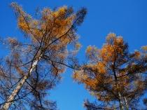 千代田湖畔の落葉松黄葉10