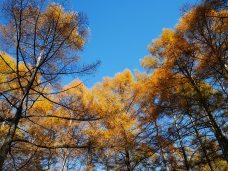 千代田湖畔の落葉松黄葉9