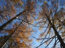 千代田湖畔の落葉松黄葉7