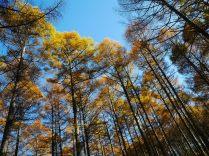 千代田湖畔の落葉松黄葉4