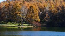 千代田湖畔の落葉松黄葉3