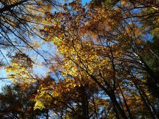 千代田湖畔の落葉松黄葉2