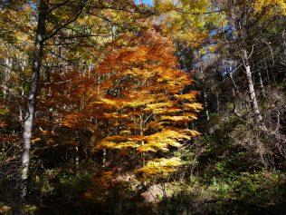 落葉松とモミジの紅葉1