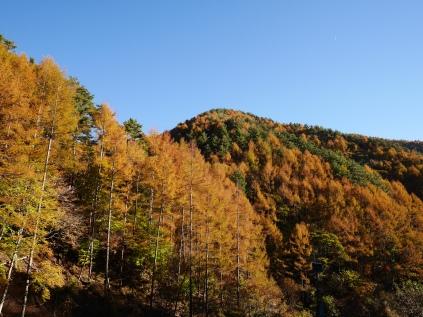 日影入林道の落葉松黄葉3