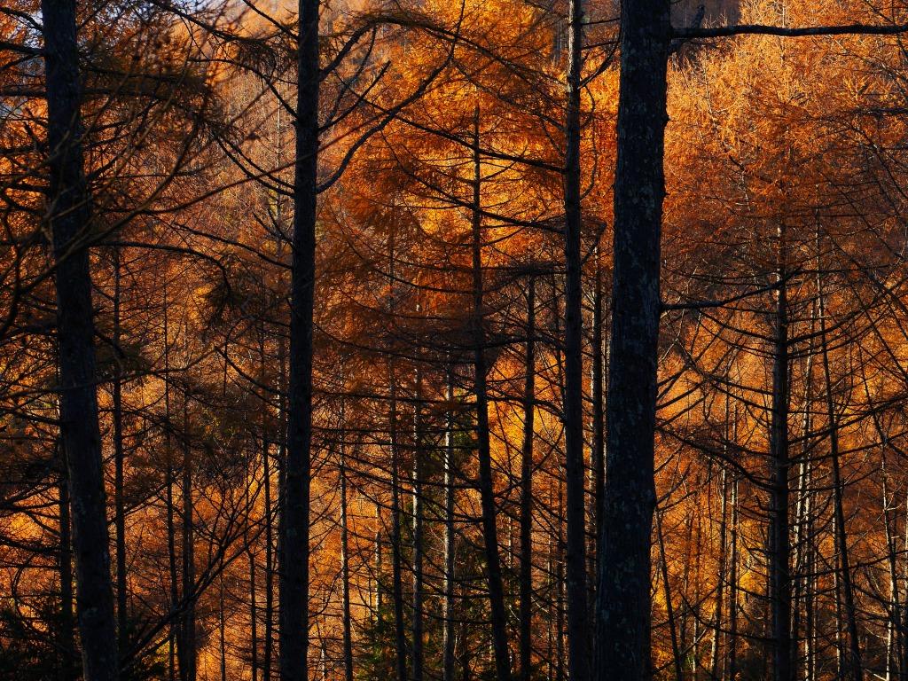 落葉松色に染まる森2