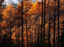 落葉松色に染まる森1