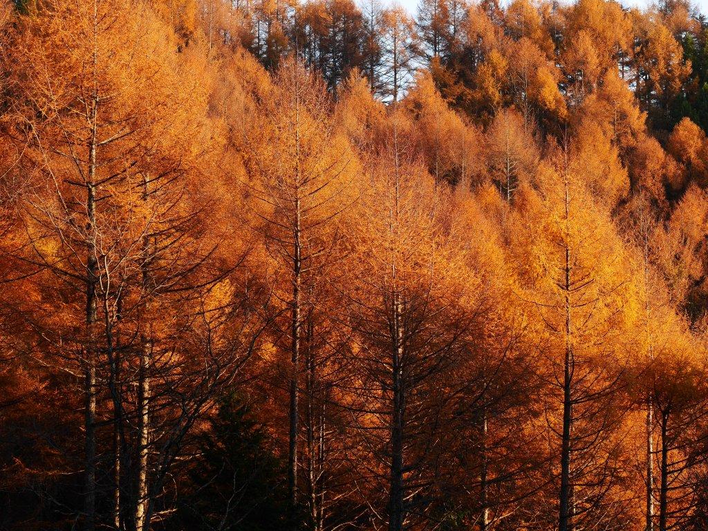 落葉松色に染まる森3
