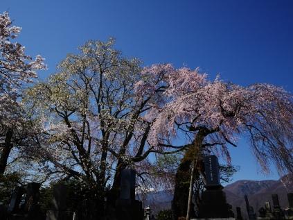 田端の枝垂桜2017_17
