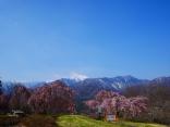 城山公園の枝垂桜2017_4