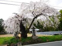 連成寺の枝垂桜