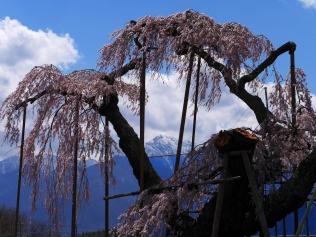 神田の大糸桜2017_4
