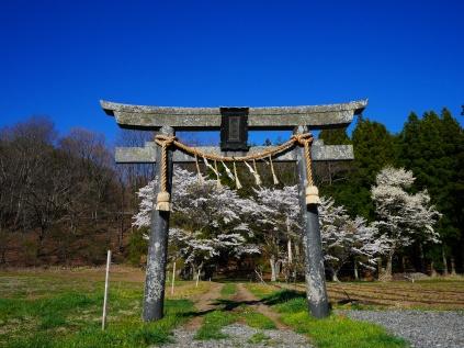 池生神社の桜2017_1