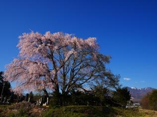田端の枝垂桜2017_22