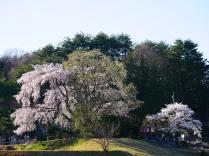 田端の枝垂桜2017_23