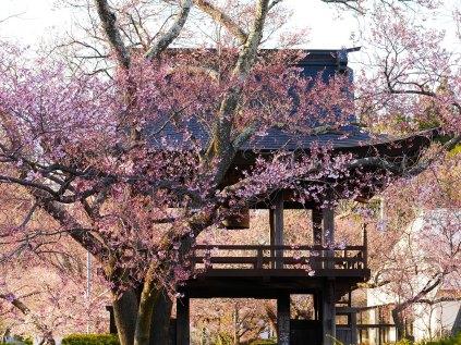 深叢寺の桜2017_1