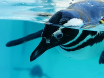 上越市立水族博物館、マゼランペンギン