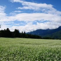 蕎麦の花と朝の甲斐駒