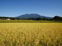 稲穂と八ヶ岳