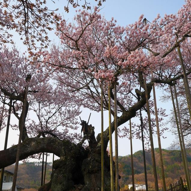 実相寺の神代桜7
