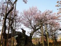 実相寺の神代桜6