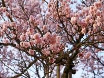 実相寺の山高神代桜11