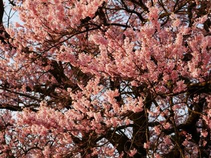 実相寺の桜達4
