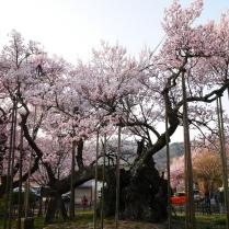 実相寺の神代桜10