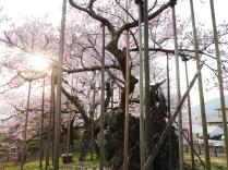 実相寺の神代桜1