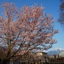 実相寺の桜達3