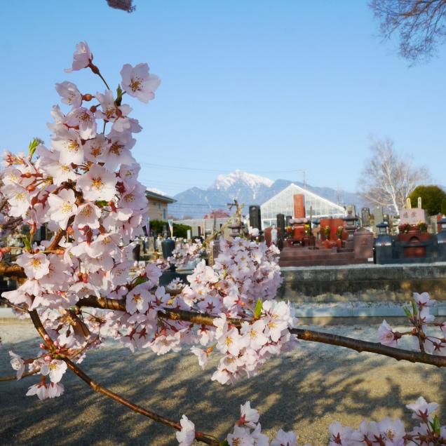 実相寺の桜達7