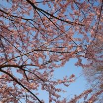 実相寺の桜達1