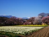 実相寺の桜達5