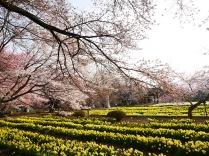 実相寺の桜達2