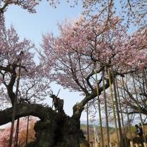実相寺の神代桜2