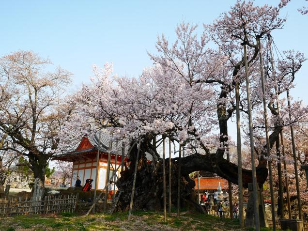 実相寺の神代桜9