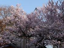 実相寺の神代桜8