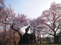 実相寺の神代桜3