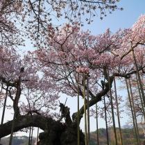 実相寺の神代桜4