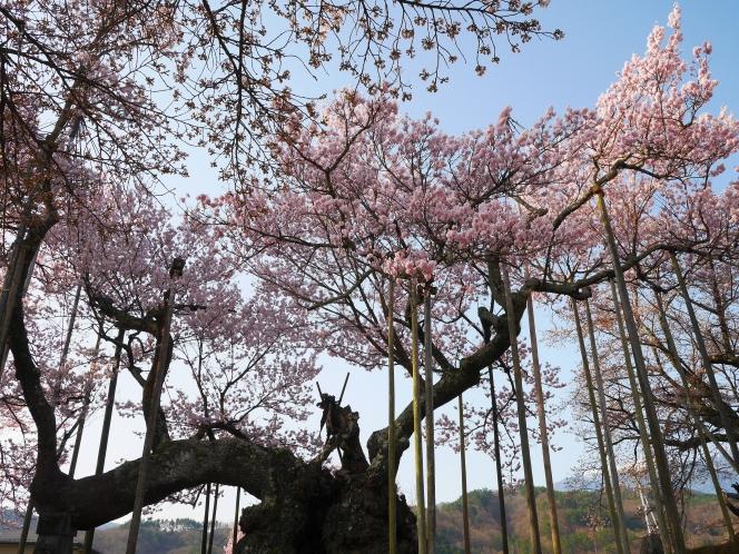 驚くほど早く満開を迎えた山高神代桜(2018.3.31)