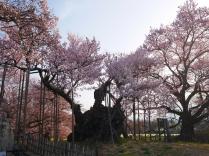 実相寺の神代桜5