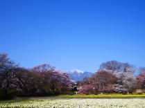 実相寺の桜達6