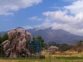 神田の大糸桜1