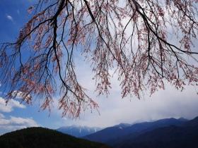 駆け足でやって来た桜前線もちょっと足踏み(2018.4.4~8)